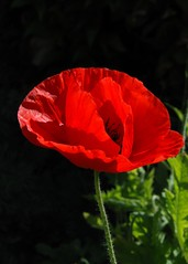 Poppy in a garden