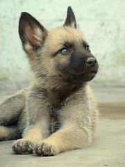 (GerardoDeSantiago) Tags: dog cute puppy happy shepherd sony german doggy dsc h9