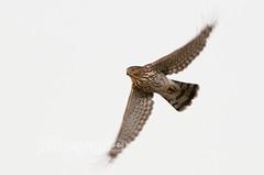 Hawk Flap!