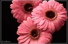 sisters (irina_rosca) Tags: pink macro closeup canon petals gerbera romania