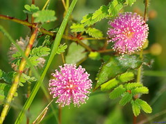The natural Pom-Poms (, ) .. (ravi_gogte) Tags: pink flowers sleeping india plant grass death pom bush weed natural princess sensitive shy olympus hills virgin malu annual putri mimosa vivi shameful mori herb pune creeping humble false perennial poms shyness makahiya touchmenot pinyin pudica  chaturshringi nidikumba e520 chuimui mateloi lojjaboti pantropical lajalu co hnxi thottal sinungi