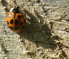 Ladybug With Long Shadow (Harmonia axyridis) (whitebuffalobk) Tags: wood shadow mill beam missouri ladybug ladybeetle burfordville harmoniaaxyridis bollingermill