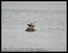 Magic Moments (Karthick Makka) Tags: two india eye love pelicans photography moments magic lovers chennai ecr makka karthick kelambakkam