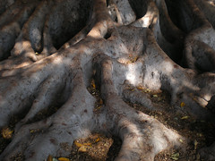 bigroots6 (lunarrover) Tags: tree roots moretonbayfig