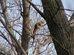 treestand11-20-09foxsquirrel2