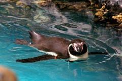 Brookfield Zoo (Tiger_Jack) Tags: animals penguins brookfield birds bird brookfieldzoo zoo zoos itsazoooutthere zoosofnorthamerica