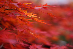 Autumn leaves ~~ (Marie Eve K.A. (Away)) Tags: november autumn red blur macro fall nature japan canon season maple kyoto dof bokeh foliage  japon redorange    autumntint 11 blurring shinnyodo  notprocessed  shinshogokurakujitemple