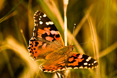Painted Lady-1 (bennettphotos) Tags: macro butterfly colourful paintedlady
