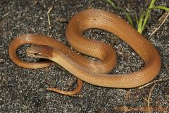 Rhadinaea flavilata: Pine Woods Snake (Todd W Pierson) Tags: pine woods reptile snake todd pierson pinewoods reptilia colubrid colubridae serpentes pinewoodssnake rhadinaea flavilata taxonomy:binomial=rhadinaeaflavilata toddpierson rhadinaeaflaviliata