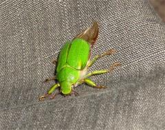 san juan (ET IN ARCADIA EGO-I TEGO ARCANA DEI) Tags: chile macro rock bug comics insect san juan conce concepcion bio escarabajo insecto coleoptera coleoptero pololo scarabaeoidea brachysternus prasinus flaiter