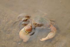 DSC_3624 (nicolasfeir) Tags: sea eye beach water del de uruguay ojo la mar eyes agua crab playa el ojos punta beaches este crabs playas posta cangrejos cangrejo pinzas pinza