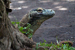 Komodo dragon (Peter Nijenhuis) Tags: bali indonesia komododragon 500d ef70300mmf456isusm varanuskomodoensis tamanburungbalibirdpark peternijenhuis