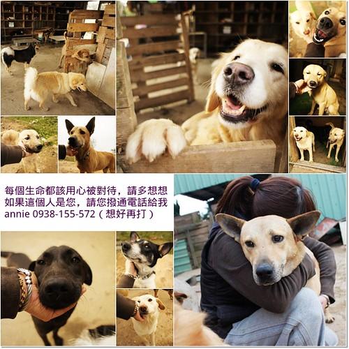 「認養-推」桃園從新屋救出犬瘟,被認養又退養,各式藉口遺棄的孩子,都已經完成健檢醫療,他們都需要一個永遠的家,20110515