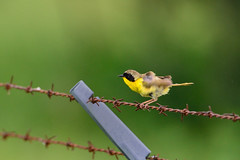Common Yellowthroat Twist DSC_5815 by Mully410 * Images