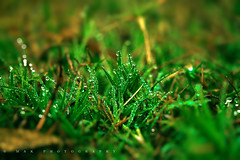 Morning Dew (Md Abdul Kahar) Tags: morning dew winter wintermorning grass green nature natural