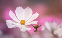 At the height of summer (Dhina A) Tags: sony a7rii ilce7rm2 a7r2 samyang 135mm f20 f2 samyang135mmf20 bokeh bokehlicious smooth soft creamy cosmos flower summer