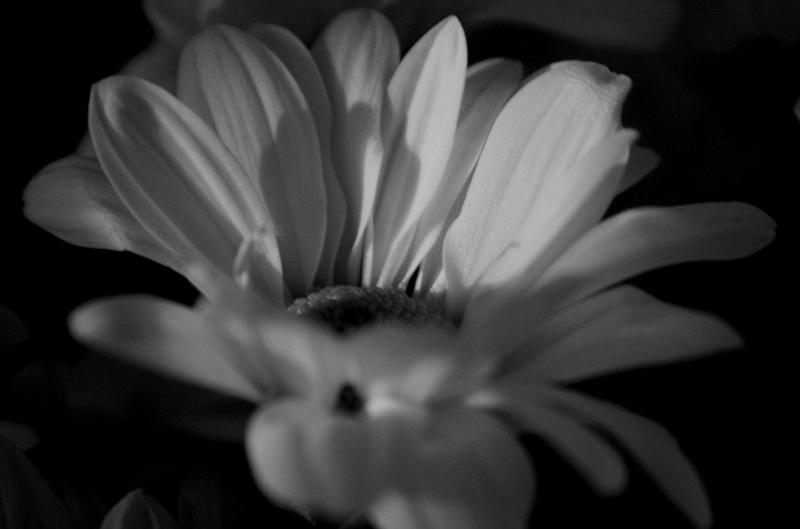pétalos en blanco y negro
