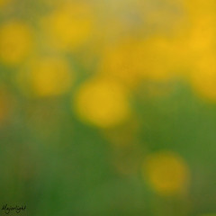 Yellow (Majorlight) Tags: flowers summer italy music sunlight inspiration abstract love beautiful beauty field yellow garden living lyrics focus italia coldplay bokeh song softness warmth giallo soul passion campo sicily fiori sicilia itshines blurisbeautiful focusisoverrated majorlight