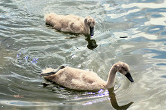 Cygnets (StainlessSteelRat) Tags: nationaltrust cygnets vynehouse