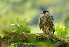 PEREGRINE FALCON ,JUVENILE (spw6156) Tags: lighting copyright lens back hand steve hard iso 400 mm 500 held nationaltrust juvenile raptors waterhouse peregrine peregrinefalcon plymbridge cannquarry spw6156 stevewaterhouse plymperegrineproject plymbridgeperegrinefalcons copyrightstevewaterhouse