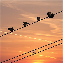 High wire show off at sunset (NaPix -- (Time out)) Tags: sunset sky canada 6x6 nature silhouette clouds canon square landscape quebec dove pigeons flock flight explore top10 doves columbidae 500x500 explored exploretopten napix canoneosdigitalrebelxsi 5pigeonsonexplore5
