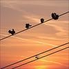 High wire show off at sunset… (NaPix -- (Time out)) Tags: sunset sky canada 6x6 nature silhouette clouds canon square landscape quebec dove pigeons flock flight explore top10 doves columbidae 500x500 explored exploretopten napix canoneosdigitalrebelxsi 5pigeonsonexplore5