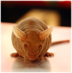 bald and fat (2r0xf0x deLuXe) Tags: pet pets strange animals mouse weird surreal delicious research freak ugly mutant unusual hairless creature genetics freakshow transgenic hairlessmice mutantmice hairlessgene
