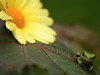 Gift (SolsticeSol) Tags: flowers flower cute green nature beautiful smile gardens garden happy image michigan wildlife images frog frogs treefrog froggy kermit treefrogs greenfrog froggie kermitthefrog greenfrogs littlefrog adamichigan copesgraytreefrog tinyfrog funnyimages yellowgerbera littlefroggy natureimages cutefrog frogsmiling michiganwildlife natureimage funnyimage michiganfrogs puremichigan castorbeanleaf michiganfrog happyimages happyimage frogsmile funnyfrogimage frogsinmichigan imageofafrog frogsofmichigan beautifulflowerpictures beautifulflowerimages imagesoffrogs cutefrogimage cutefrogimages funnyfrogimages