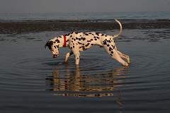 mirror mirror... (Emma Scott) Tags: sea dog reflection beach water dusk ripple paddle spot animalplanet dalmatian