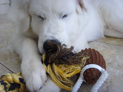 New Toys 9 (PolothePup) Tags: dog puppy great polo pyrenees greatpyrenees