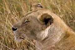 Beauty (gerdaindc) Tags: africa kenya wildlife lioness masaimara gamedrive masaimaranationalreserve 5photosaday