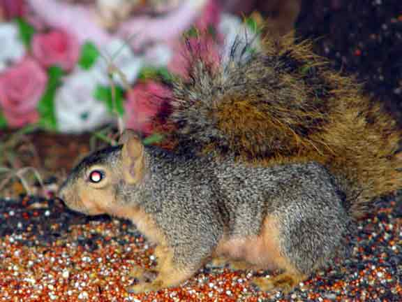 Foxsquirrel1.jpg