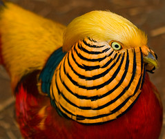 Golden Pheasant (Uncle Phooey) Tags: blue red bird gold explore avian chinesepheasant goldenpheasant chrysolophuspictus unclephooey bakersvillepioneervillage