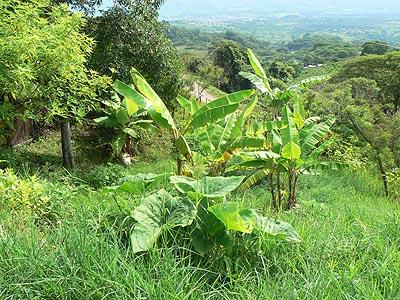 bananiers sur la route.jpg