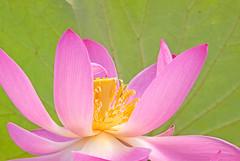 Pink Lotus Blossom (Gary Grossman) Tags: pink flower beautiful oregon flora lotus blossom tropical awesomeblossom pinklotus adrinnesmagicalmoments