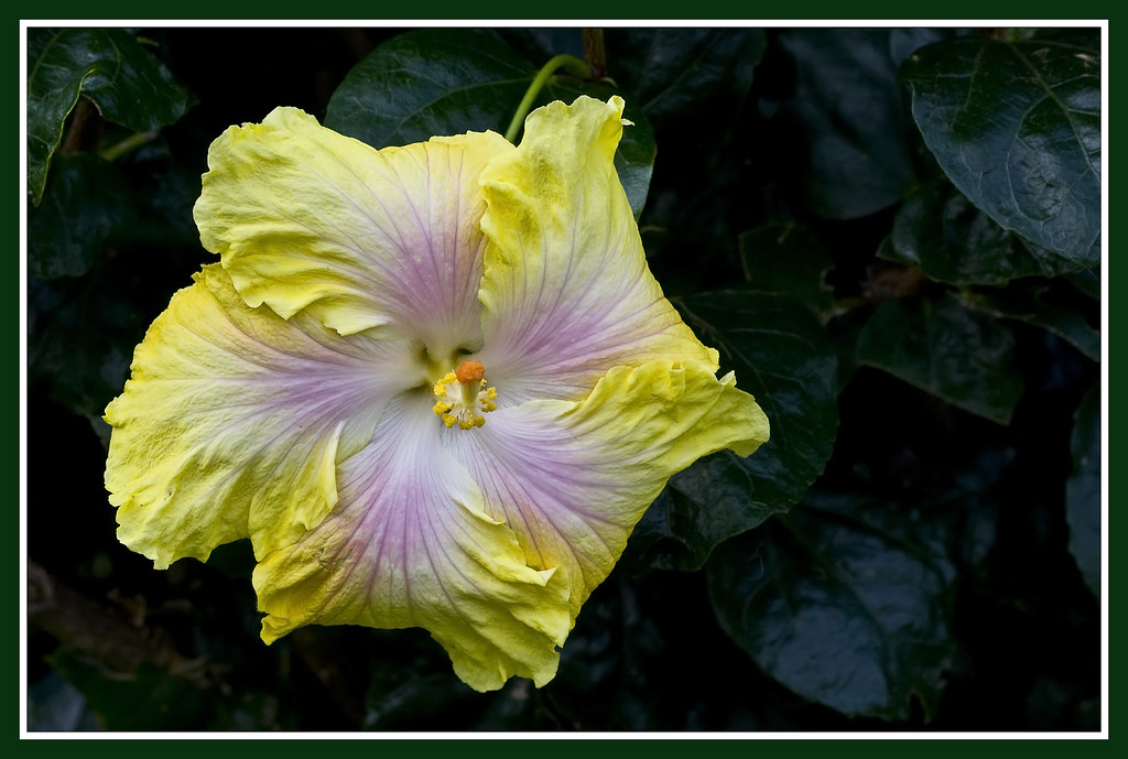Hibiscus yellow-pink-1&
