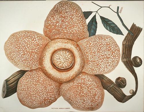 Rafflesia flower - Choix de plantes rares ou nouvelles (BHL)