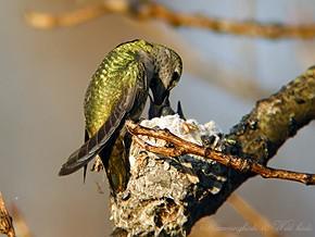 Anna's Hummingbird nest baby f02091-3