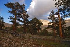 Ancient foxtail pines (supersky77) Tags: california ca beauty pine sierra trail wilderness sierranevada sentiero pino day15 muir sequoia johnmuir foxtail sequoianationalpark jmt highsierra johnmuirtrail foxtailpine pinusbalfouriana tyndallcreek