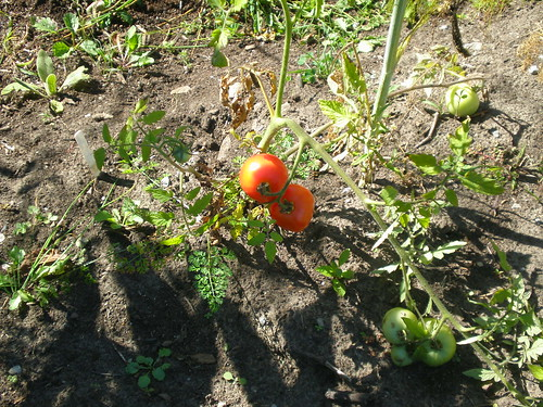 The wild tomatoes that germinated and grew on their own in the garden