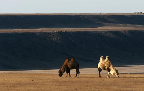 IMG_5746-w2 Camel