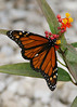 The host plant for Monarch butterflies is the Milkweed. This is where the female Monarchs lay the...