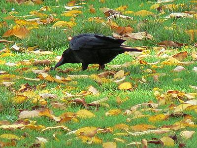corbeau au parc Motsouris.jpg