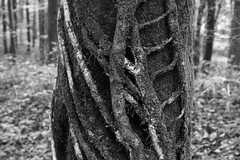 IMG_1813a (firstofficerspong) Tags: autumn bw 50mm woods ivy 2009 beech ermington