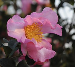 Camellia sasanqua (paolo-55) Tags: macro camelliasasanqua 105mmvrmicronikkor flowersarebeautiful nikond700 excellentsflowers natureselegantshots flickrflorescloseupmacros