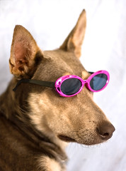 30 Days of Gratitude- Day 25 (aussiegall) Tags: dog ava puppy glasses cool kelpie 30daysofgratitude