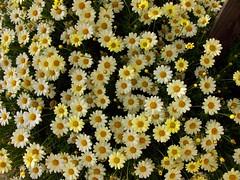 Flower Jazz (Canadapt) Tags: flowers portugal tia patterns sintra tio vanagram canadapt