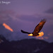 Bald eagle soaring above snow-capped mountains, Homer, Alaska