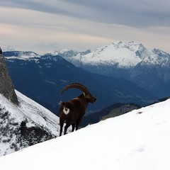 (P.. M) Tags: snow mountains montagne alpes neige ibex bouquetin capraibex coldelacolombire chinaillon pm