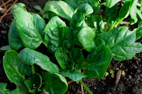 winter spinach